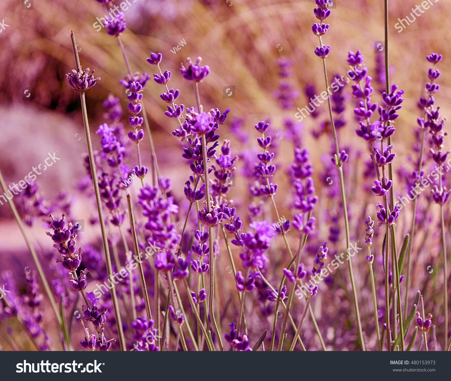 Beautiful lavender background beautiful lavender flowers stock photo beautiful lavender background beautiful lavender flowers grow in the natural park field summer early izmirmasajfo
