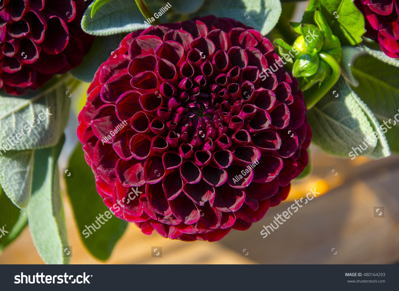 Burgundy Dahlia Flower Autumn Plant Stock Photo Edit Now 480164293