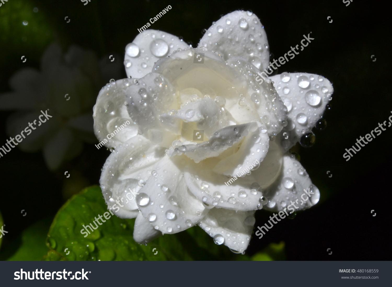 Gardenia picturing beautiful white flower gardenia stock photo edit gardenia picturing the beautiful white flower gardenia jasmine with dew drops queen of the night izmirmasajfo