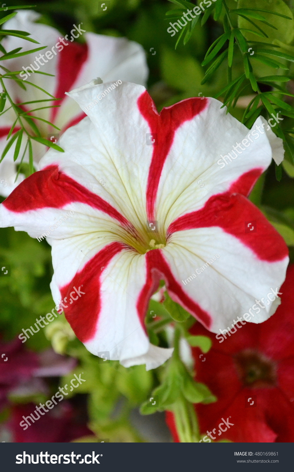 Red White Flowers Picturing Beautiful White Stock Photo Edit Now
