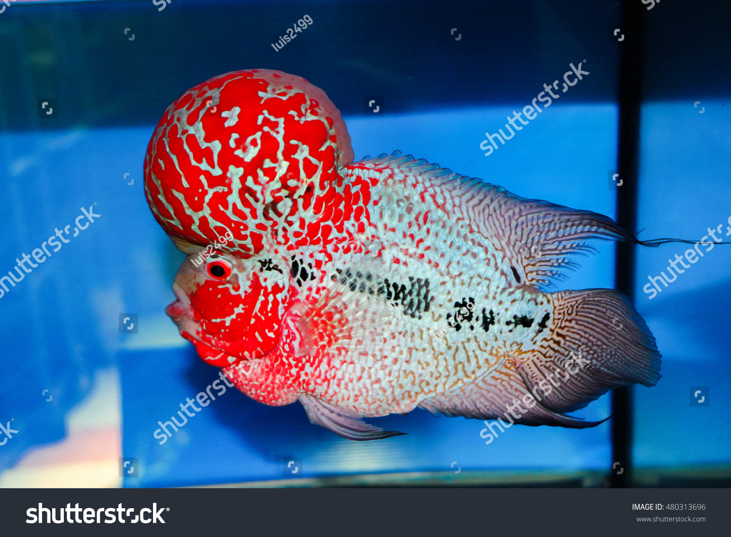 Royalty-free High Quality Flowerhorn Supper Red… #480313696 Stock ...