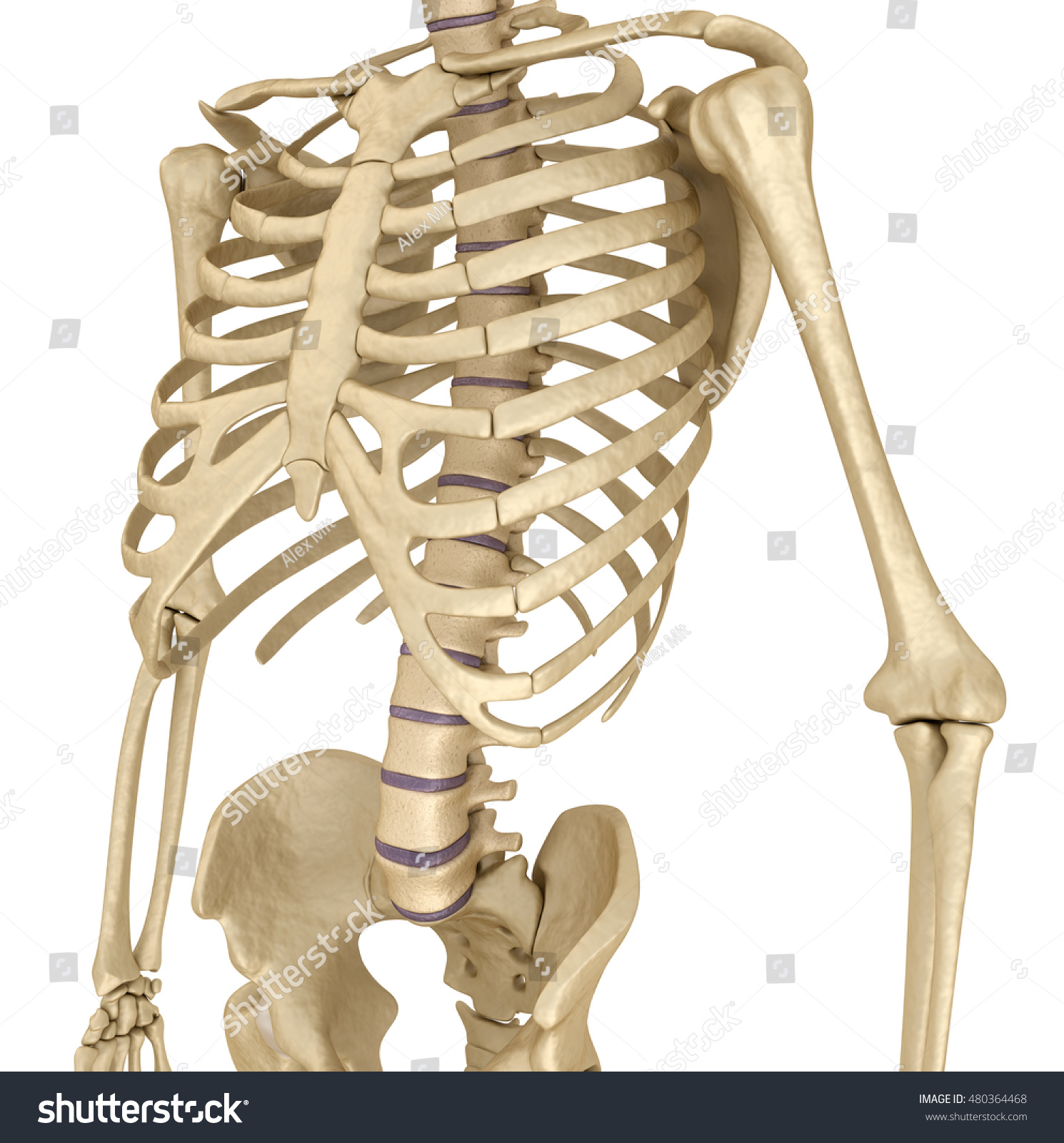 Royalty Free Stock Illustration Of Human Skeleton Breast Chest Front
