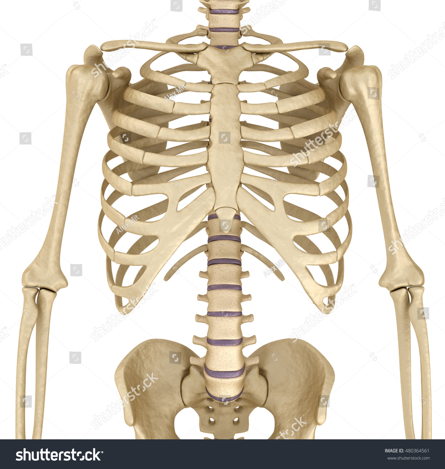 Human Skeleton Breast Chest Front View Stock Illustration 480364561