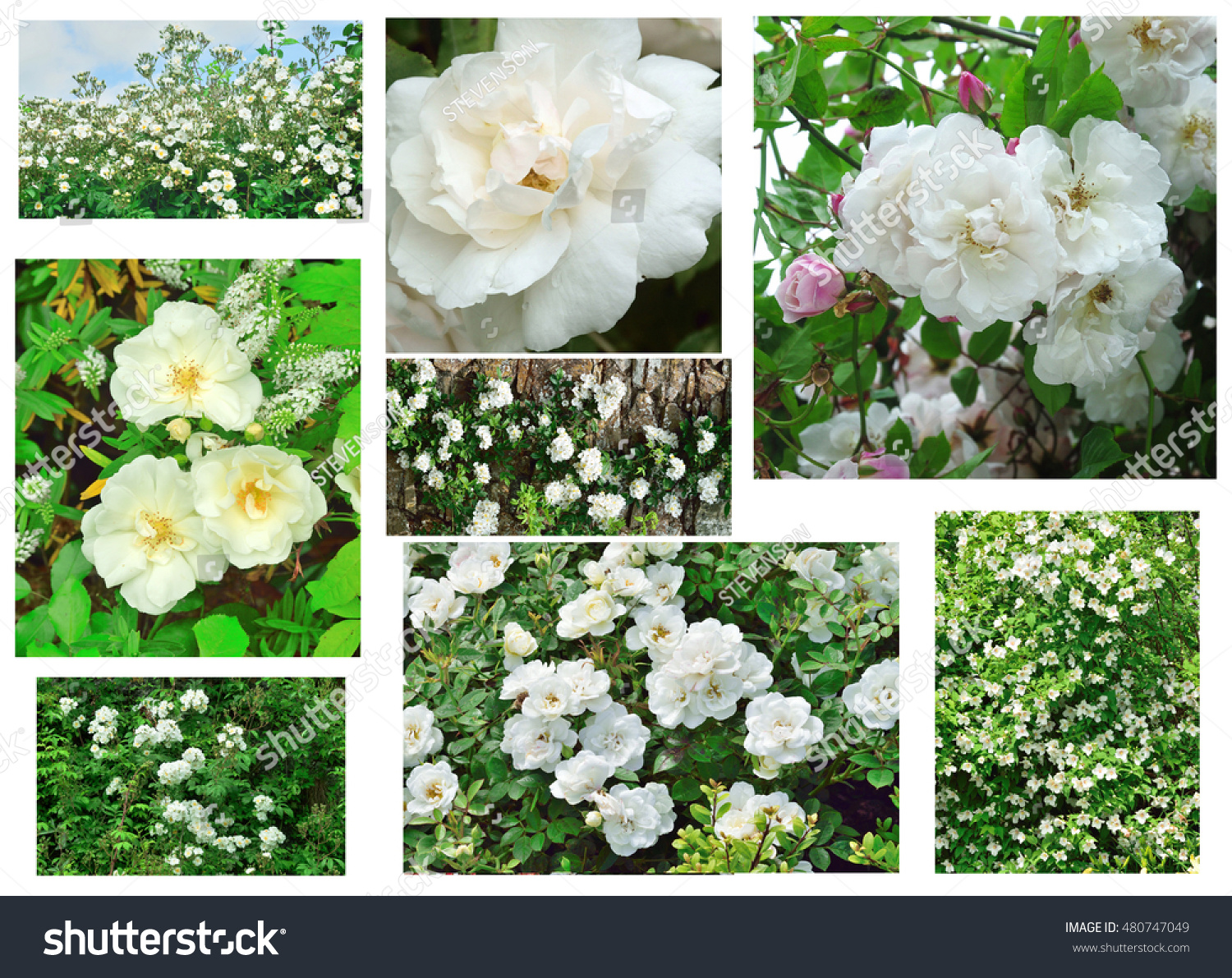 Potpourri White Cottage Garden Roses Stock Photo Edit Now 480747049