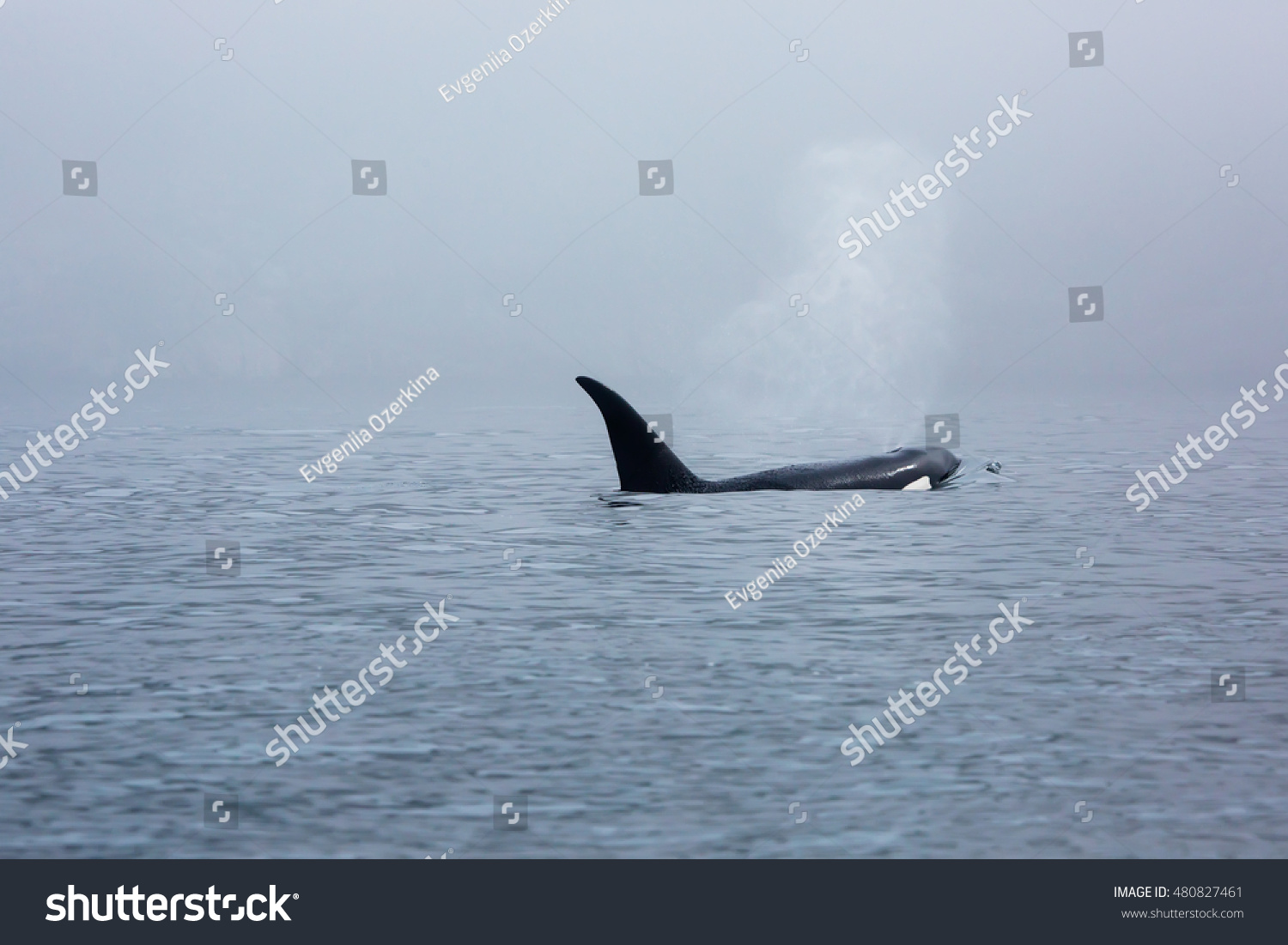 stock-photo-killer-whale-in-fog-48082746