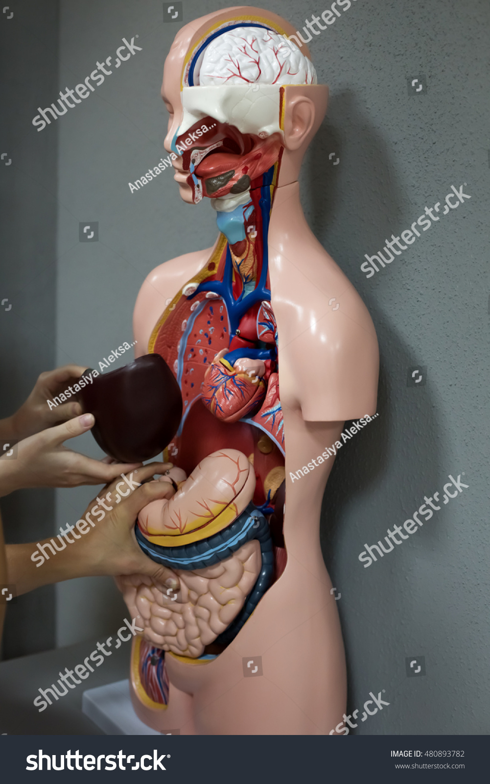 Human Anatomy Mannequin Stock Photo Edit Now 480893782 Shutterstock