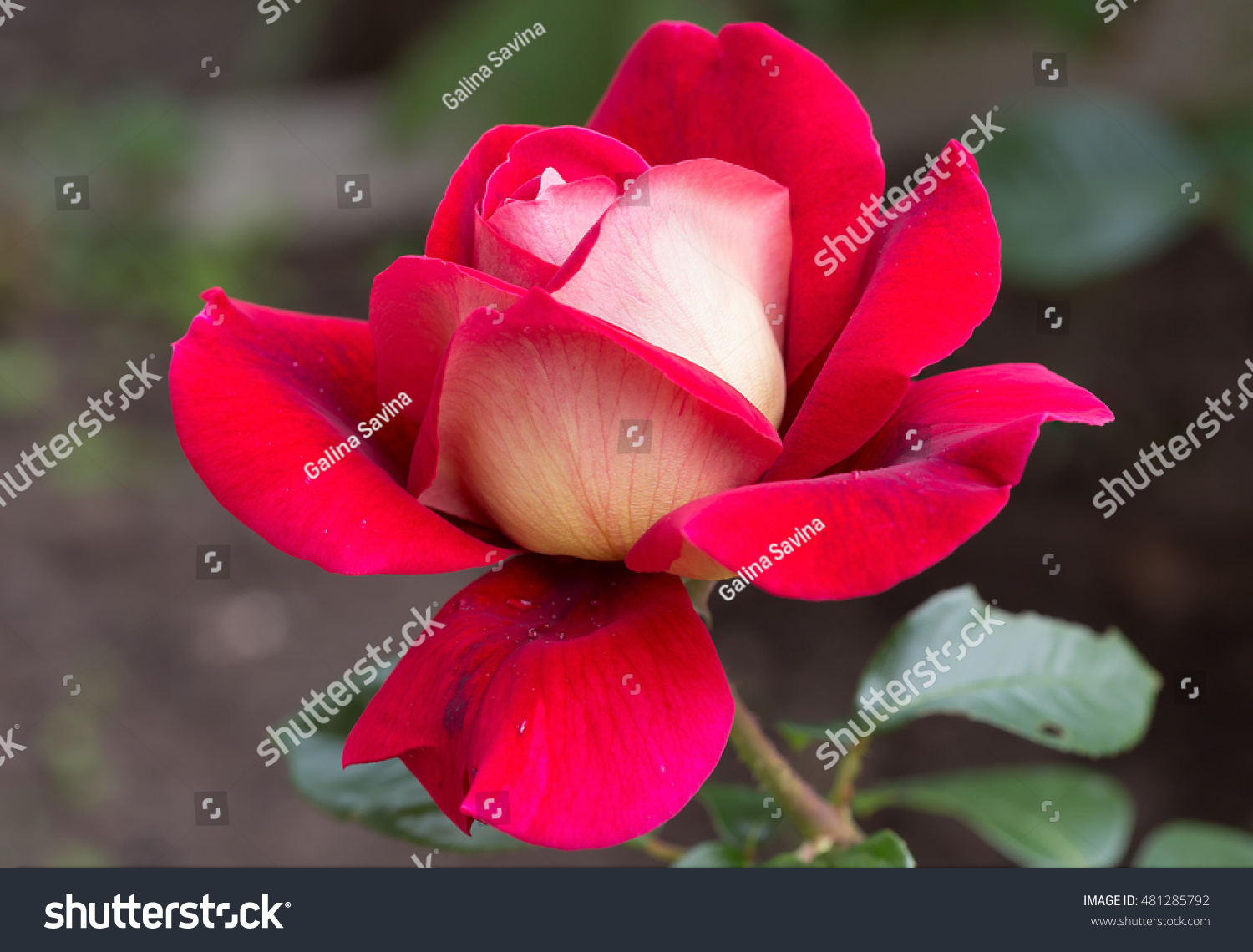 Flower Red Rose Roses These Beautiful Stock Photo Edit Now