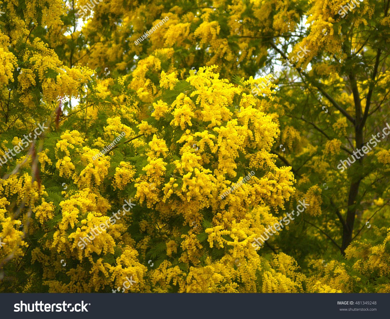 Acacia Dealbata Tree With Yellow Flowers On A Garden Ez Canvas