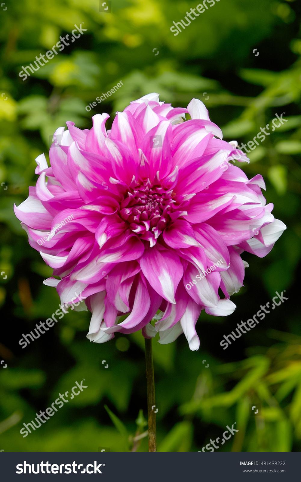 Pink White Striped Flower Of Dahlia Radegast Ez Canvas