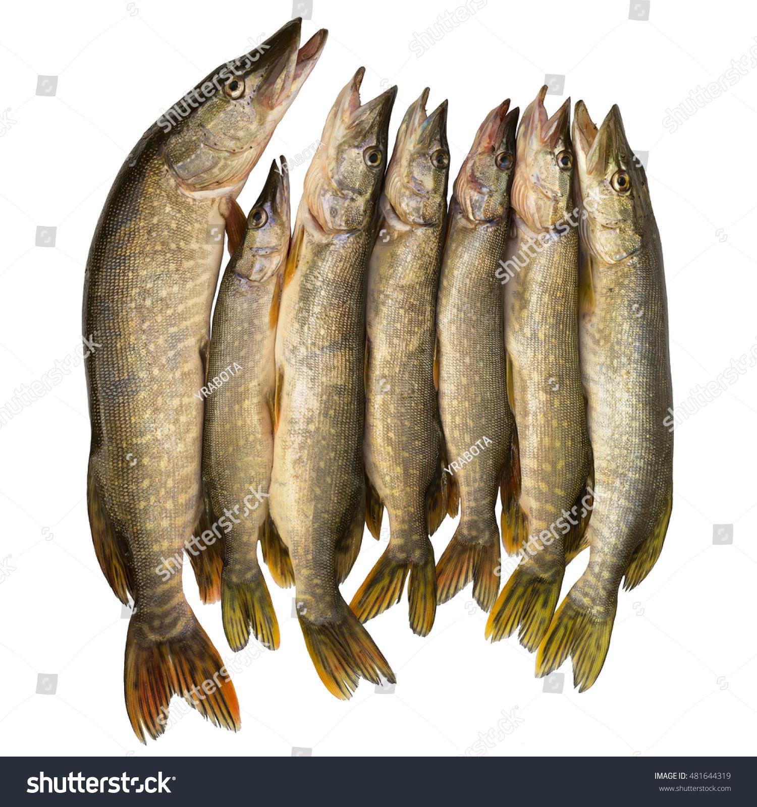 Fresh fish pike seven caught pike stock photo 481644319 for Predatory freshwater fish