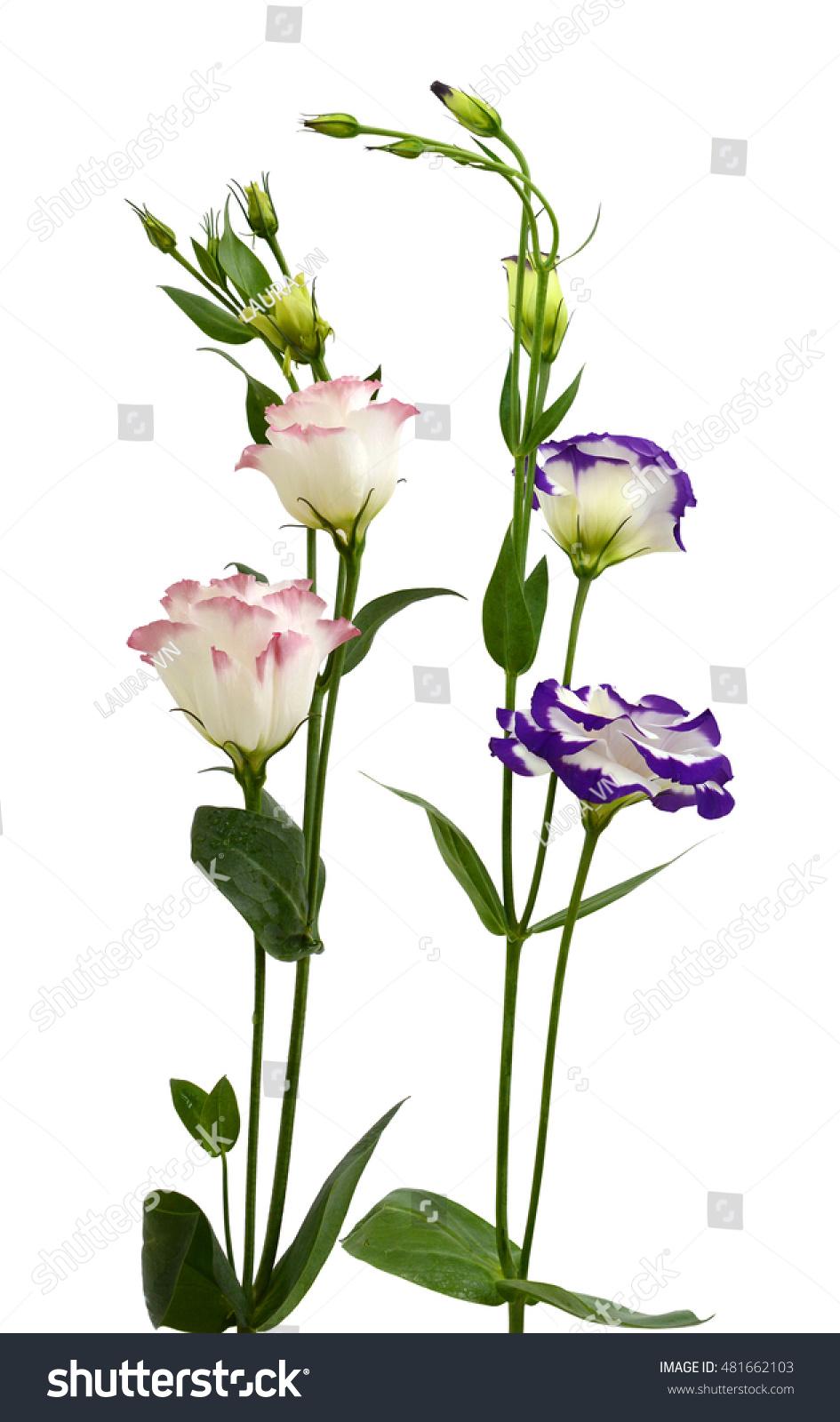 Beautiful Lisianthus Flowers Isolated On White Background Ez Canvas