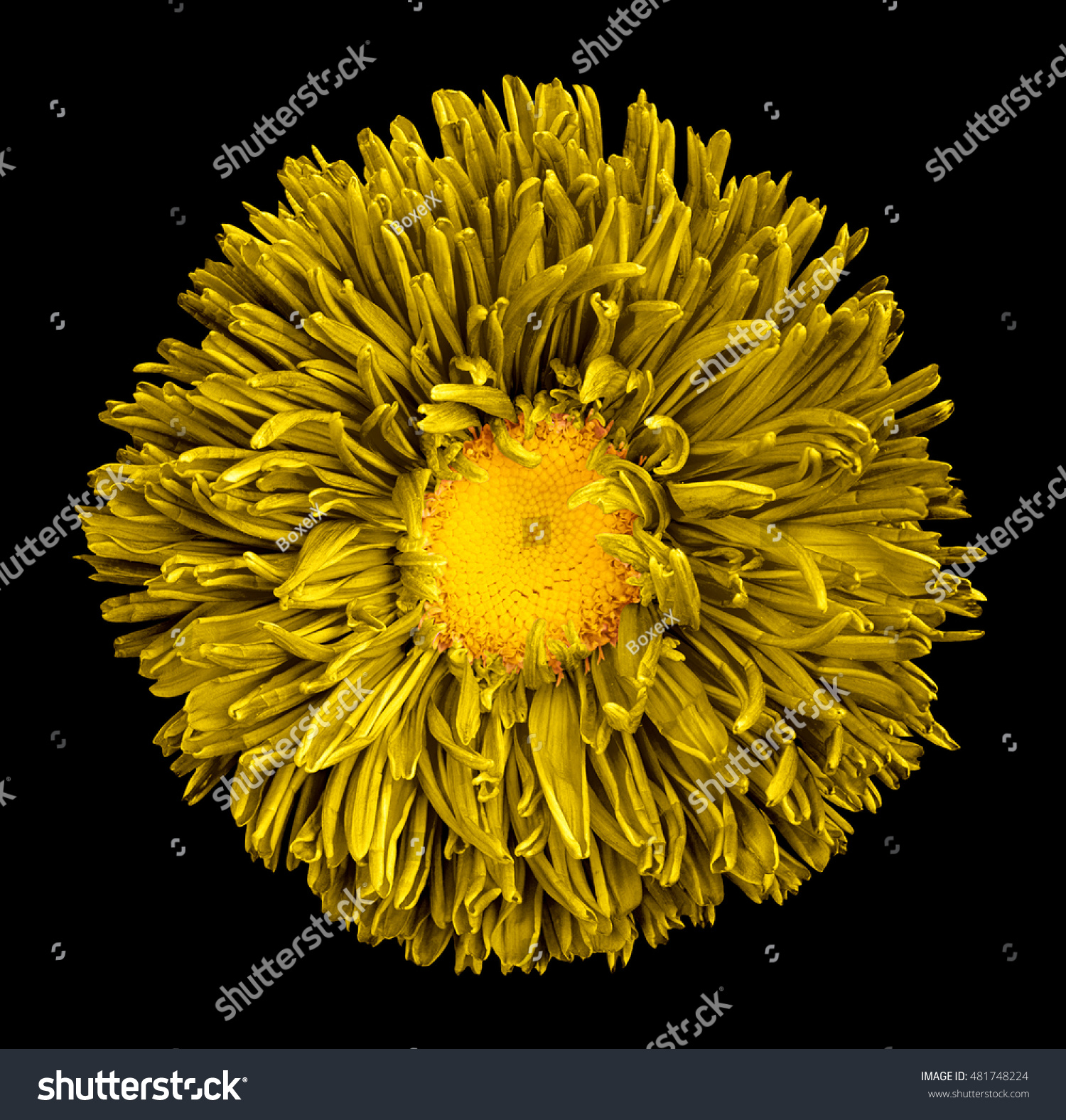 Yellow Aster Flower With Yellow Heart Macro Photography Isolated On