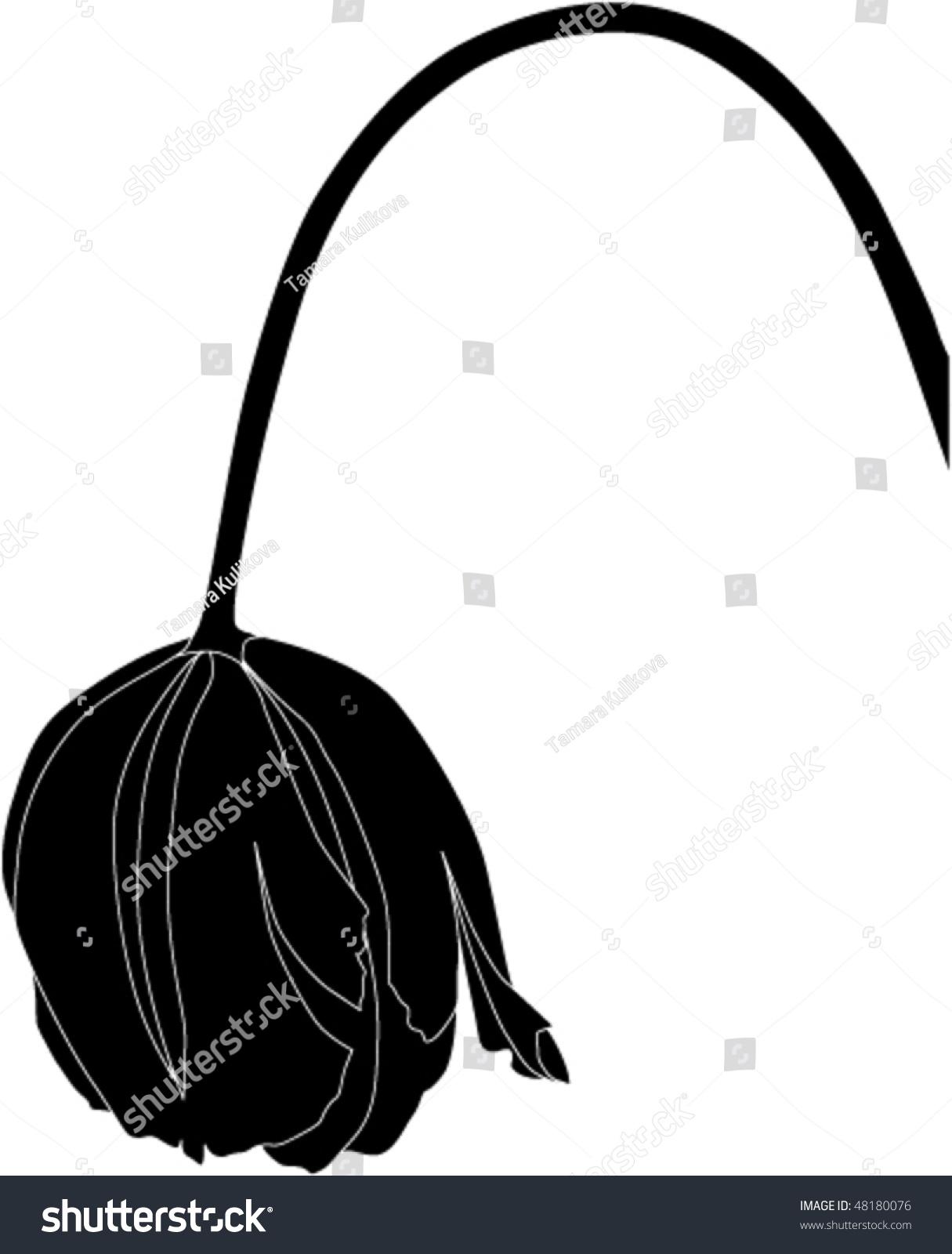 wilting tulip illustration line drawing stock vector 48180076