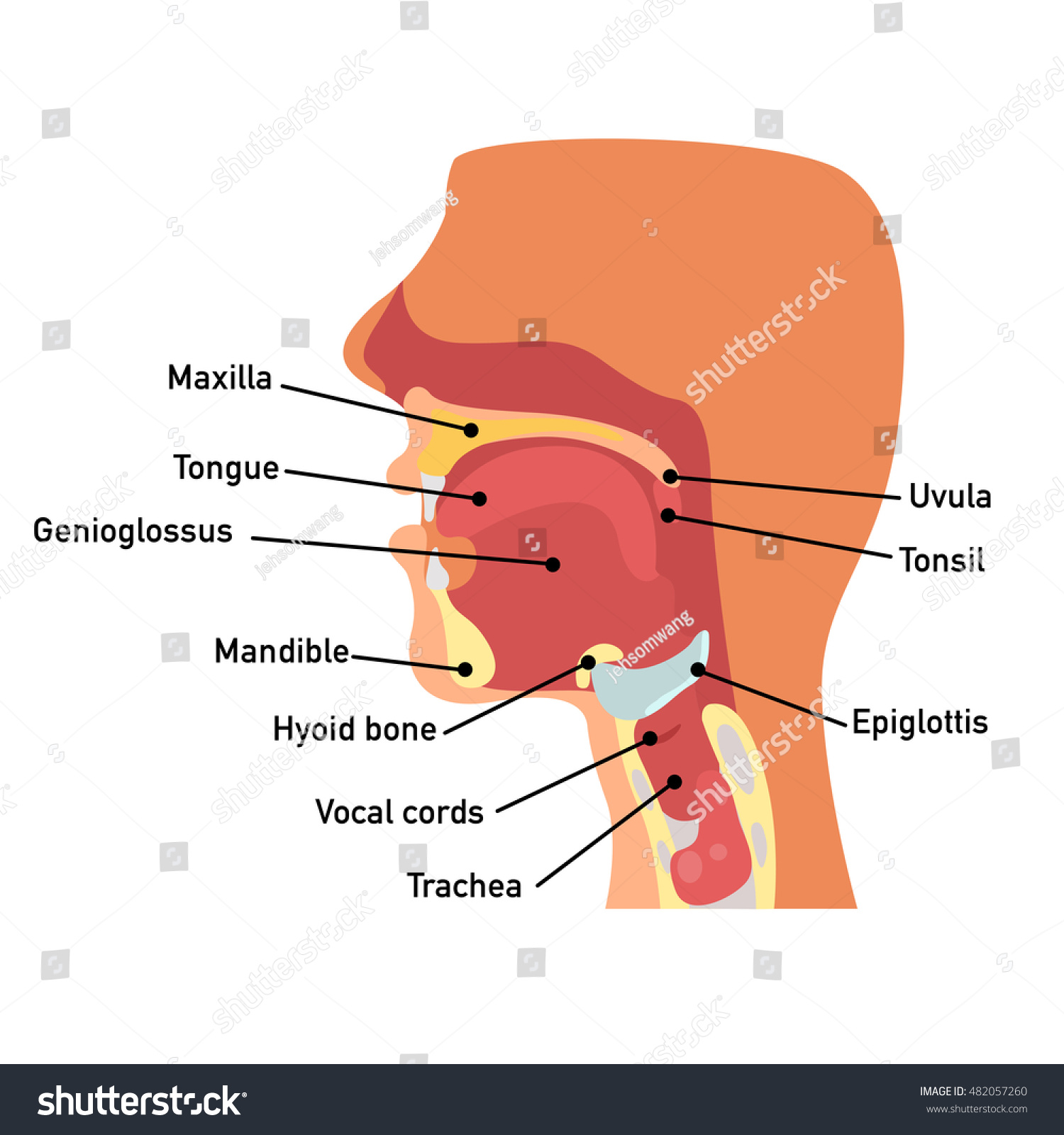 Throat Anatomyvector Illustration Stock Photo (Photo, Vector ...