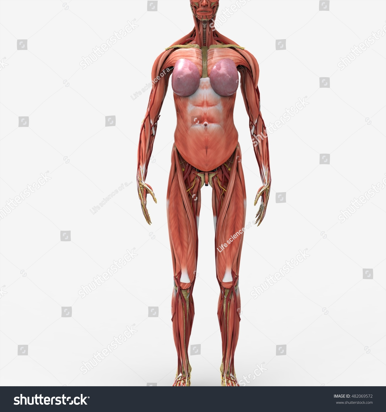 Female Anatomy Muscular System 3 D Stock Illustration 482069572 ...