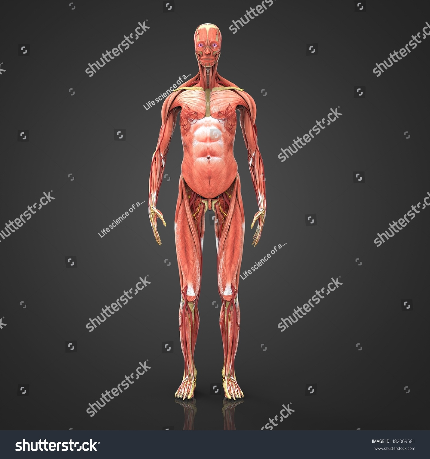 Female Anatomy Muscular System 3 D Stock Illustration 482069581 ...