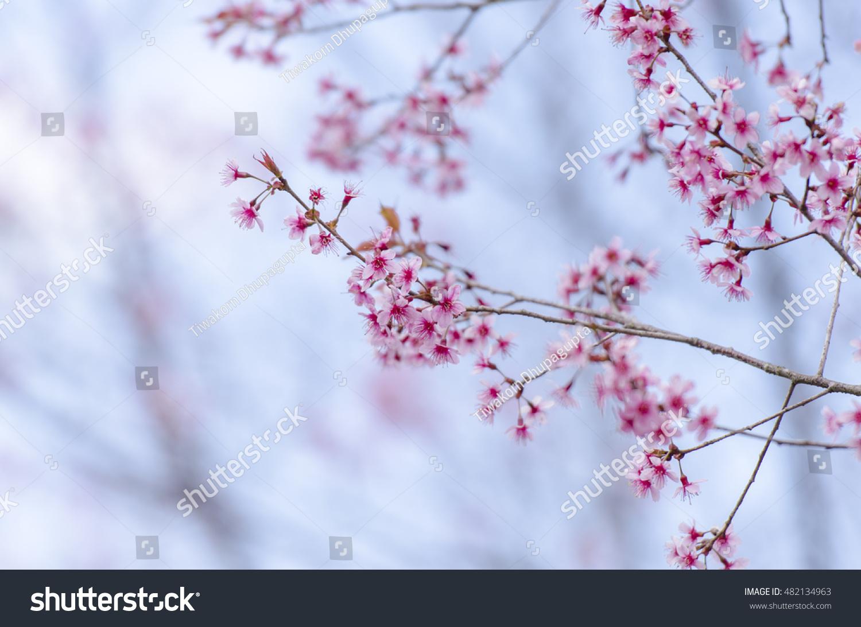 Sakura Flowers Blooming Blossom Phulomlo Loei Stock Photo
