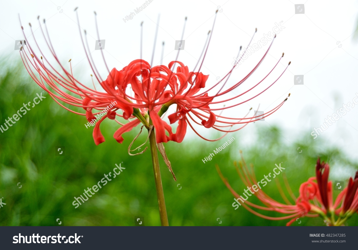 Bewitching flower red spider lily lycoris stock photo edit now bewitching flower of red spider lily or lycoris radiata higanbana in japanese in early izmirmasajfo