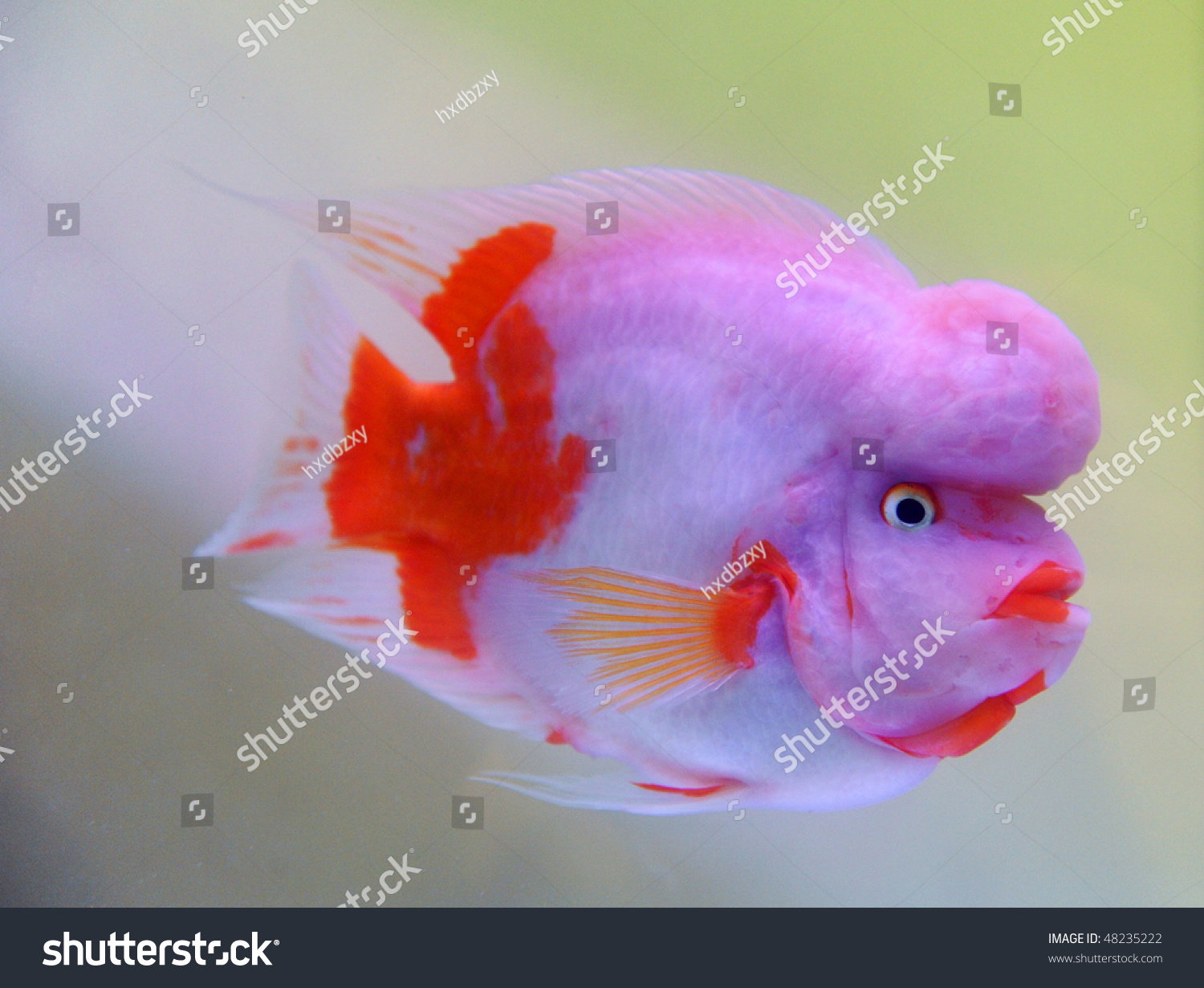 Beautiful Spectacular Fish Name Cichlasomacitrinellum Which Stock ...