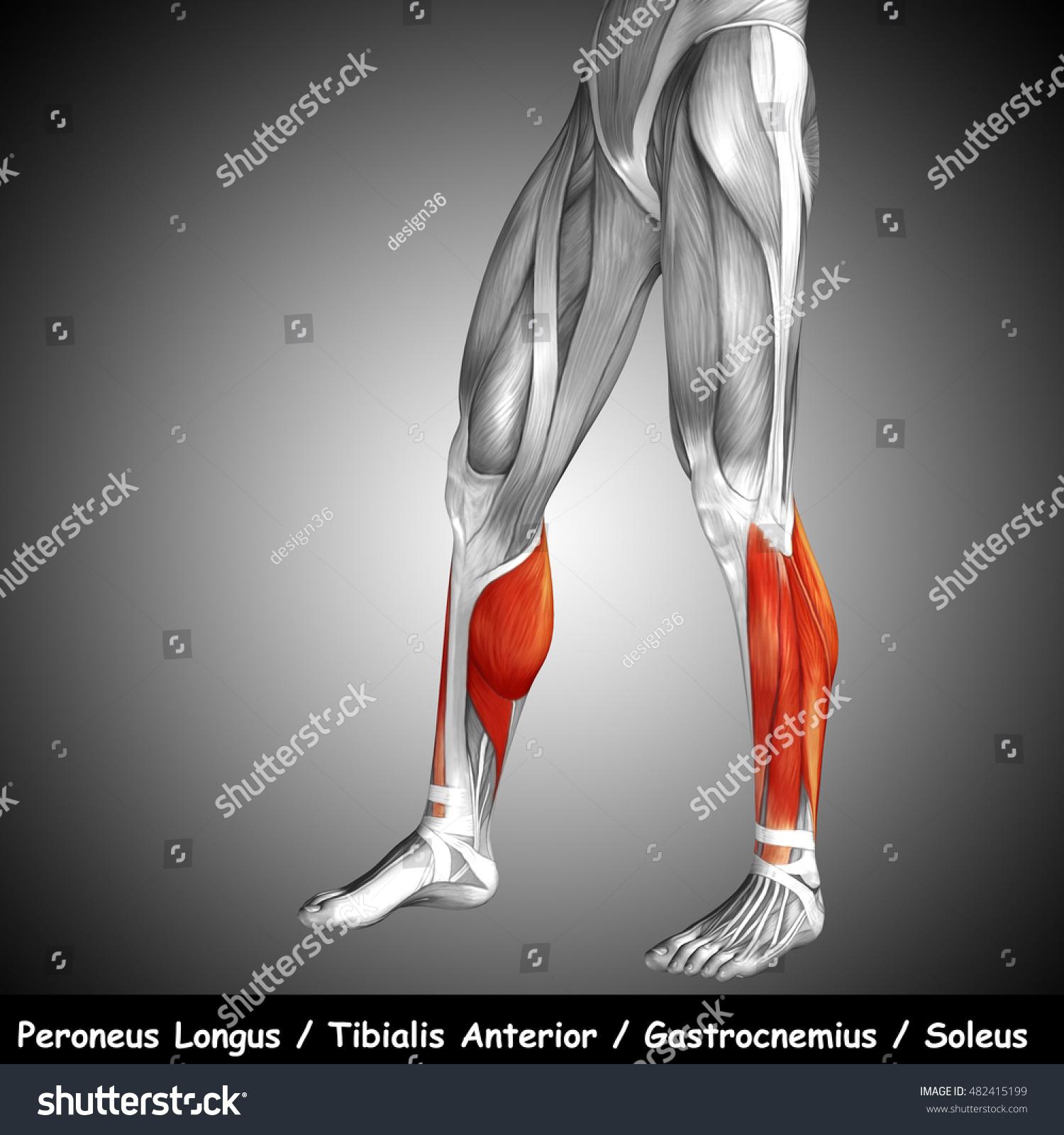Peroneus longus tendon anatomy