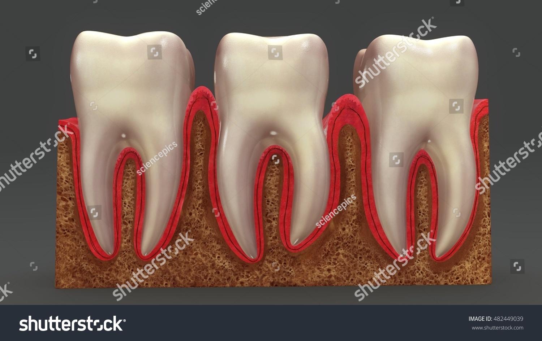 Teeth Anatomy 3 D Illustration Stock Illustration 482449039 ...