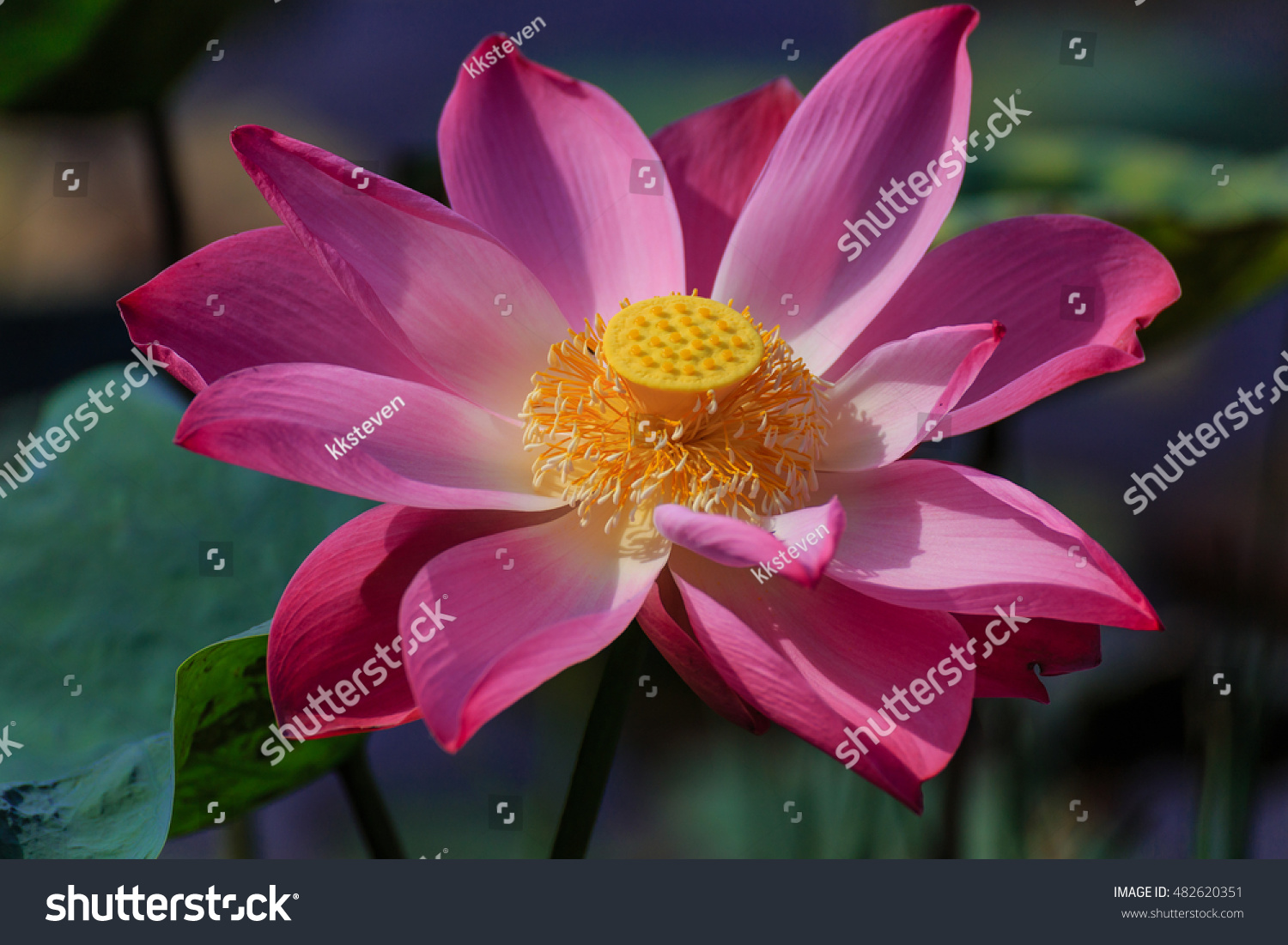 Lotus Flower Represents Creation Enlightenment Purity Stock Photo