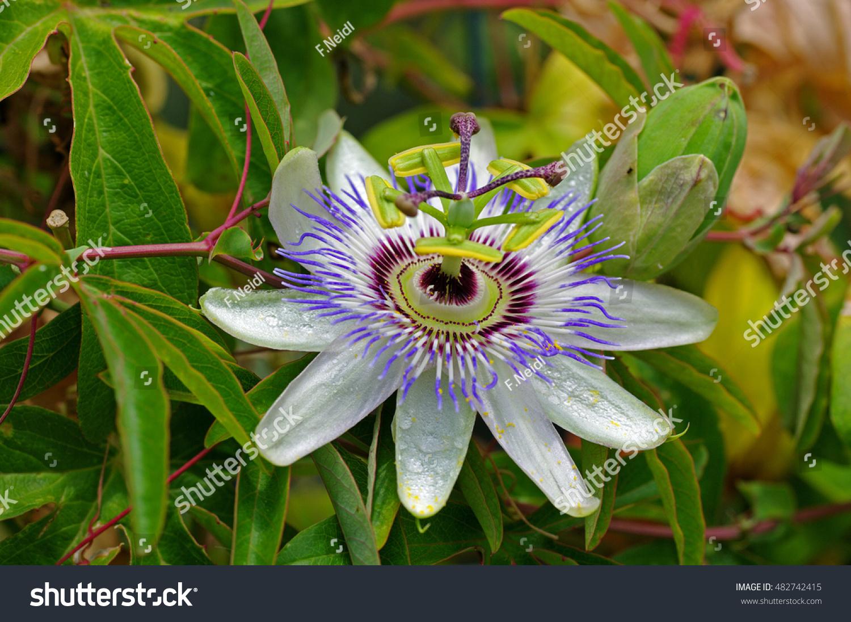 This Flower Passiflora Caerulea Blue Passionflower Stock Photo Edit