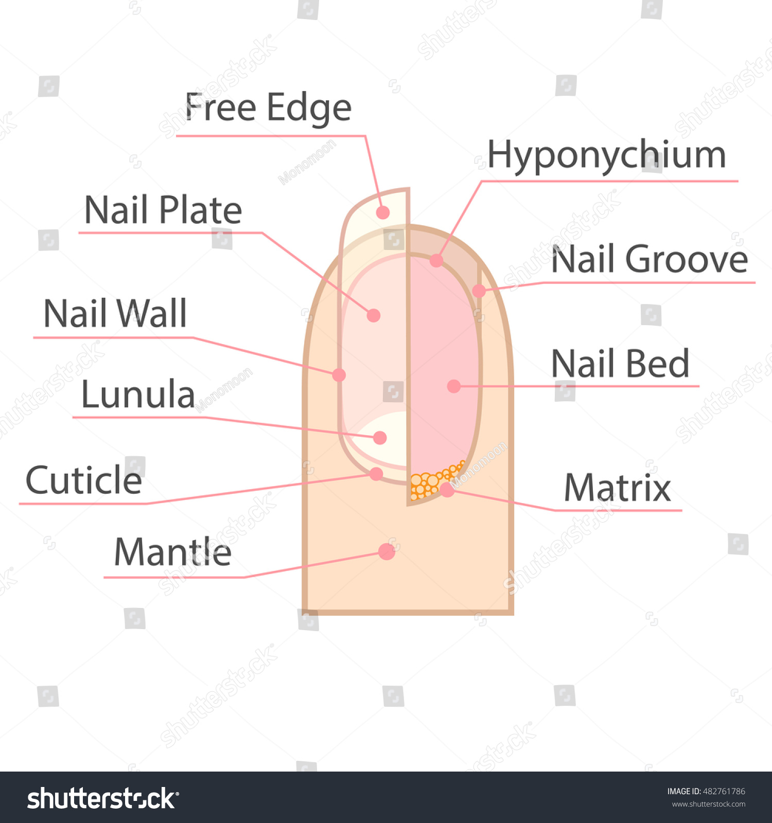 Structure anatomy human nail color medical stock vector 482761786 structure and anatomy of human nail color medical scheme on white background isolated vector pooptronica Gallery