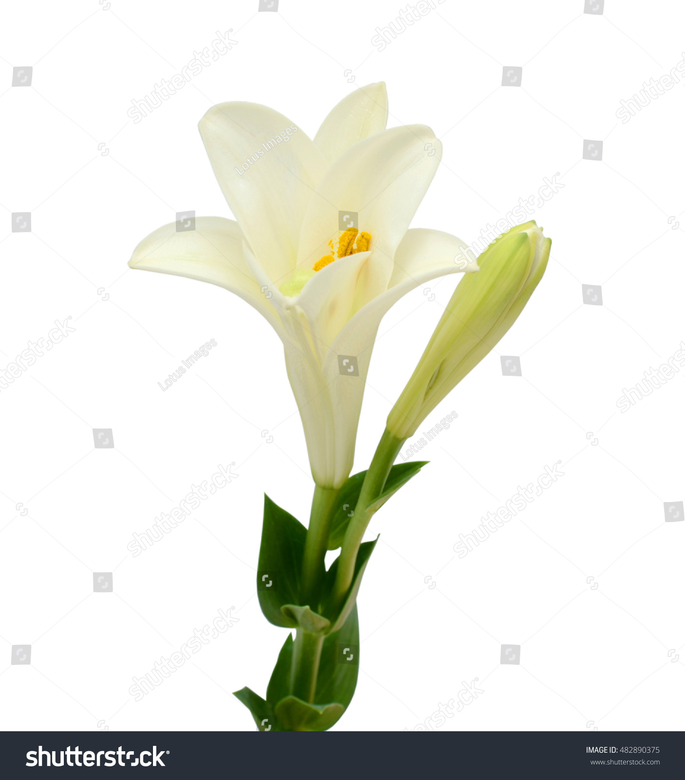 Beautiful white easter lily flower isolated on white background ez beautiful white easter lily flower isolated on white background ez canvas izmirmasajfo