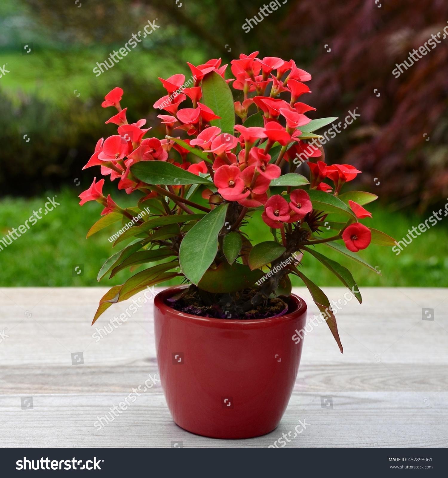 Euphorbia milii crown thorns christmas flower stock photo edit now euphorbia milii crown of thorns is christmas flower plant on old wood izmirmasajfo