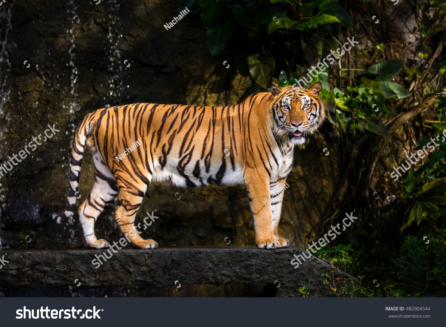 indochinese tiger stock photo 482904544 shutterstock