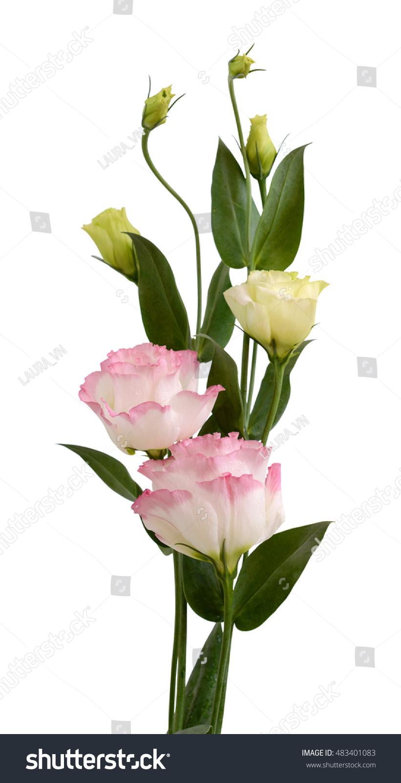 Beautiful Pink Lisianthus Flowers Isolated On White Background Ez