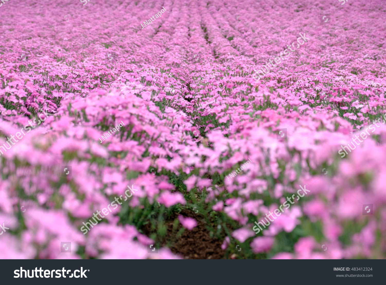 Beautiful Pink Flowers Field Beautiful Pink Stock Photo Edit Now
