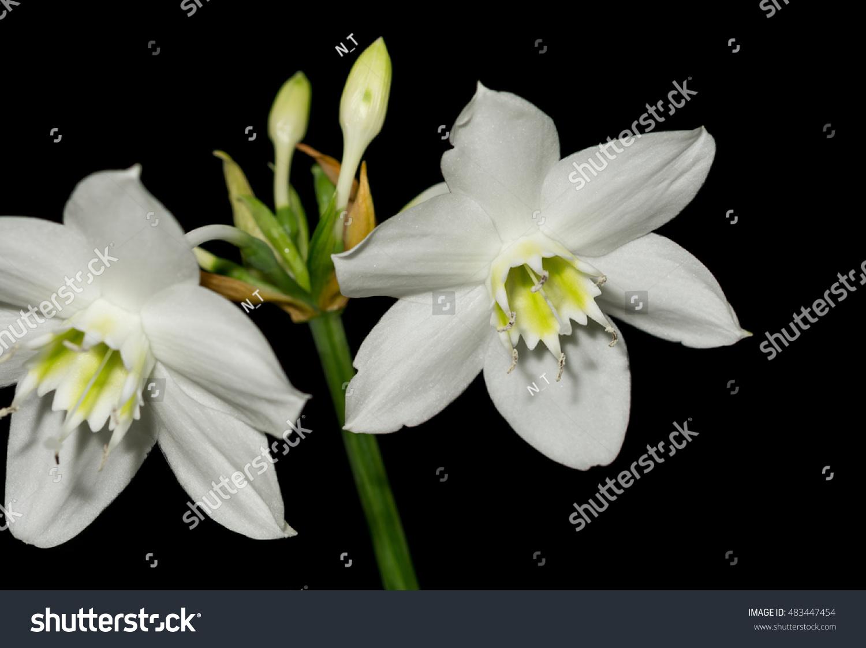 Amazon Lily Flower On Black Background Stock Photo Edit Now