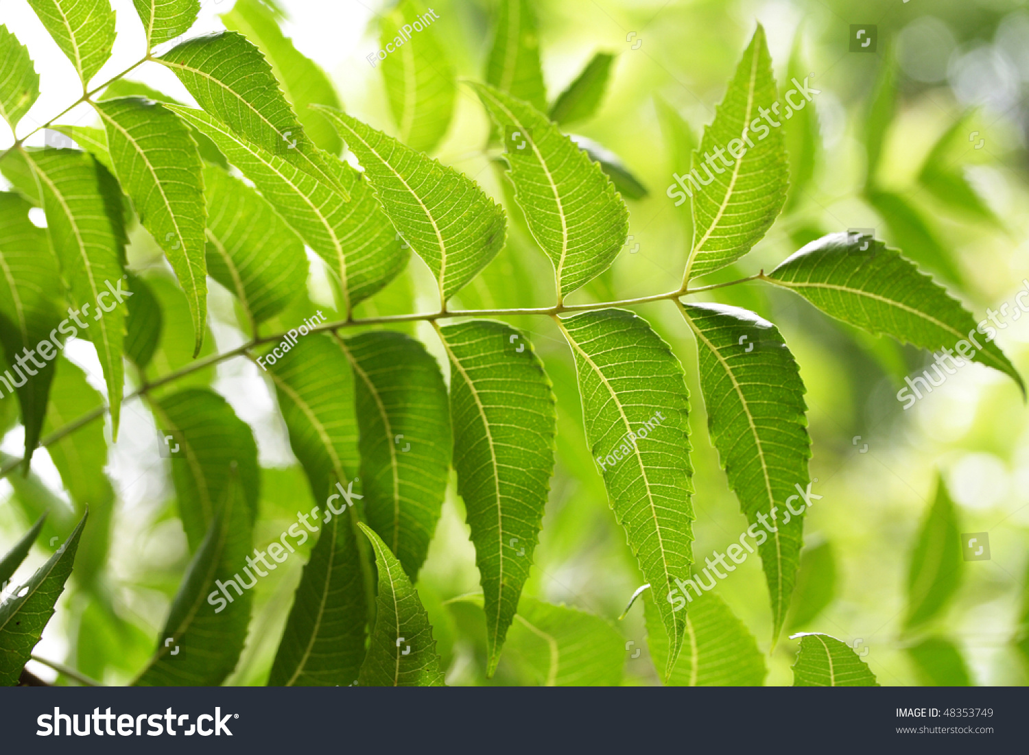 neem leaves azadirachta indica stock photo 48353749 shutterstock. Black Bedroom Furniture Sets. Home Design Ideas