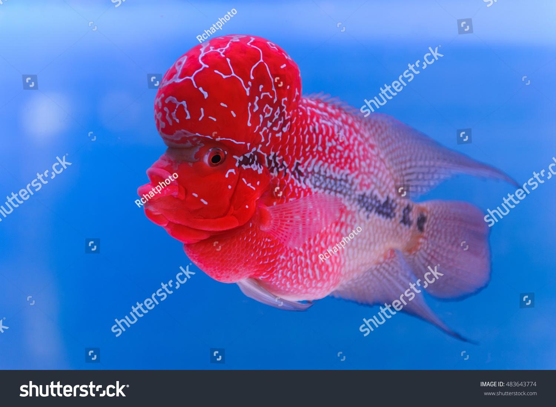 Flowerhorn Cichlid Fish Aquarium Stock Photo (Edit Now)- Shutterstock