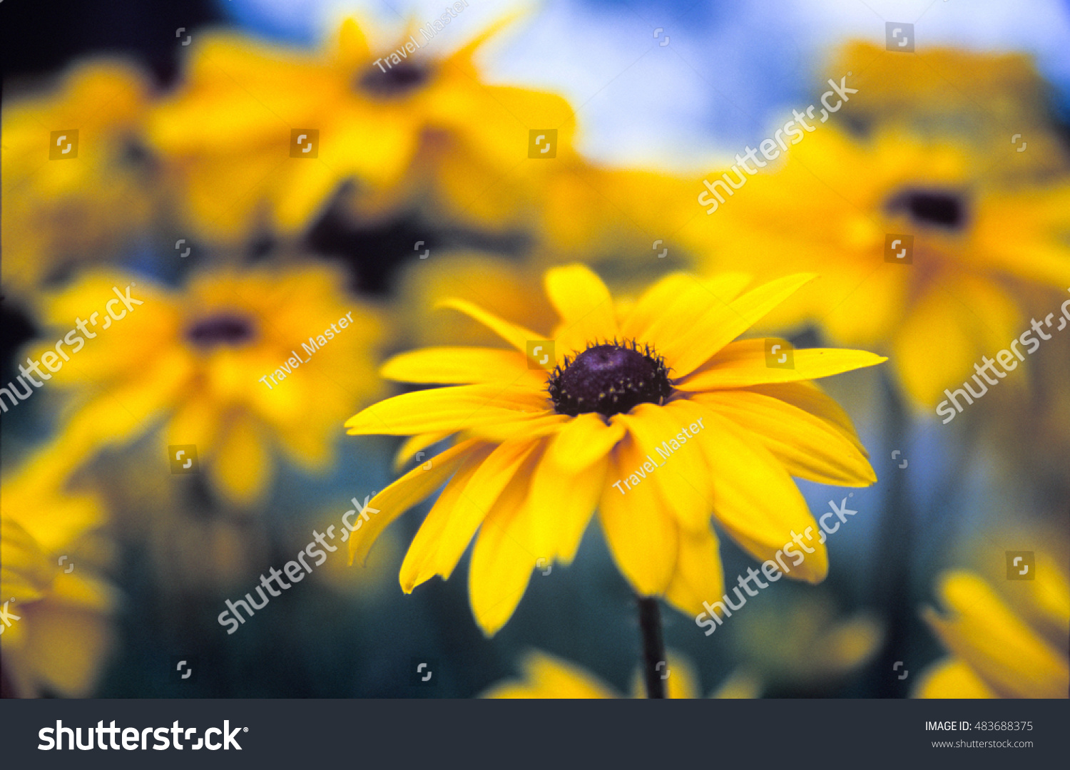 Black Eyed Susan Wild Colorful Flowers Stock Photo Edit Now