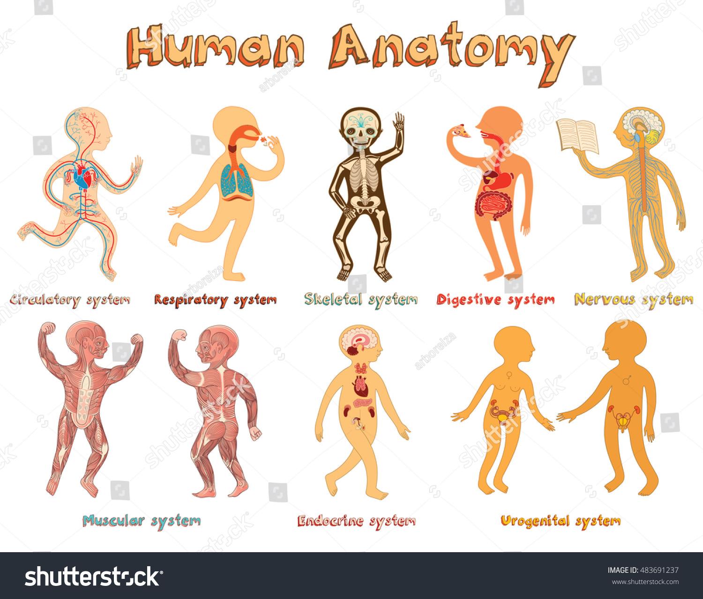 Educational Illustration Human Anatomy Systems Organs Stock Vector ...