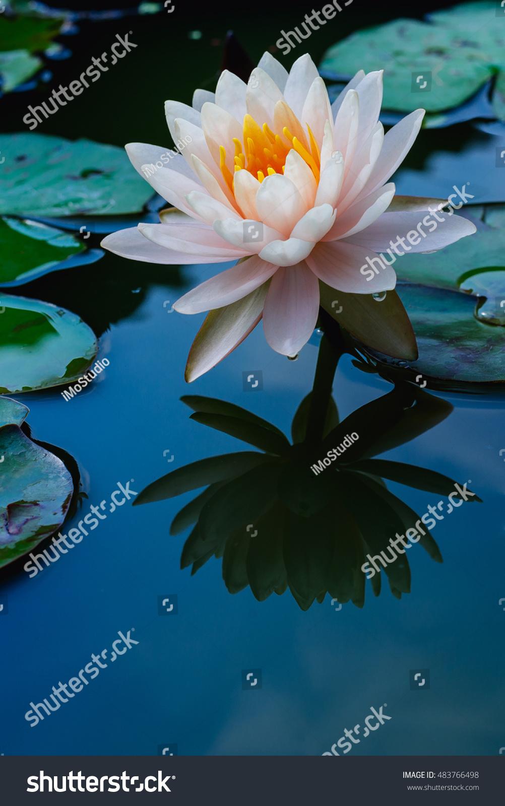 Lotus flower pondvintage tone colour stock photo edit now lotus flower in pondvintage tone colour izmirmasajfo