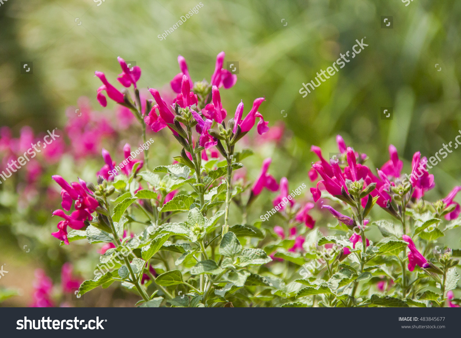 Fine Detailed Plants Small Pink Flowers Stock Photo Edit Now