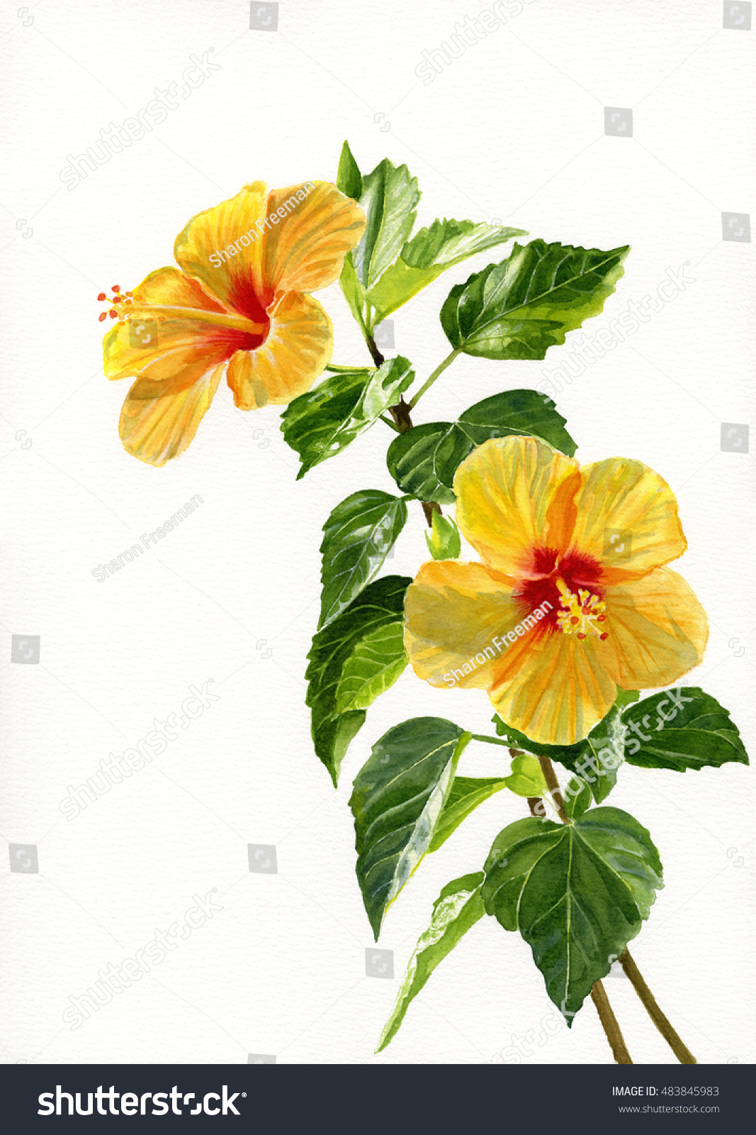 Royalty Free Stock Illustration Of Two Yellow Hibiscus Flowers