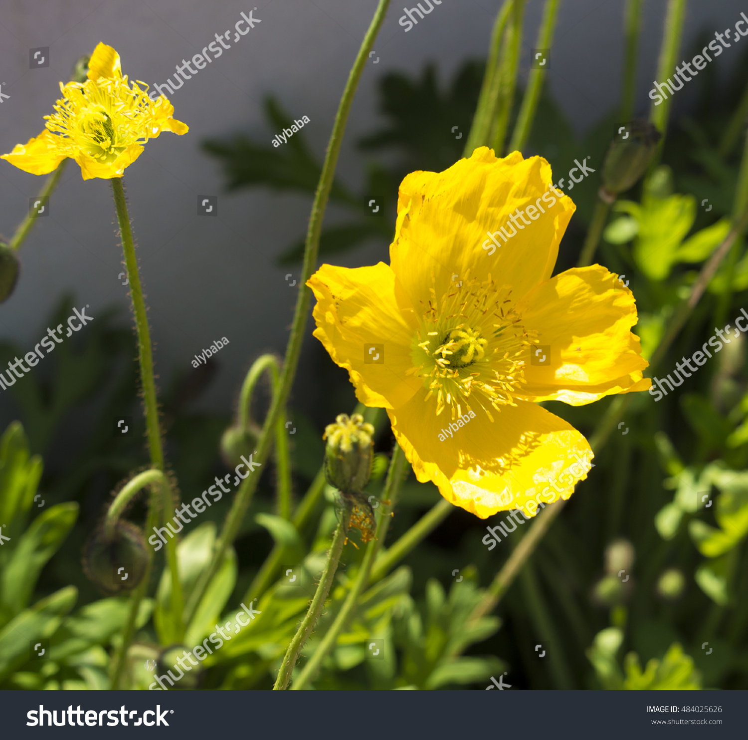 Dazzling Bright Yellow Poppies Flowering Plants In The Subfamily