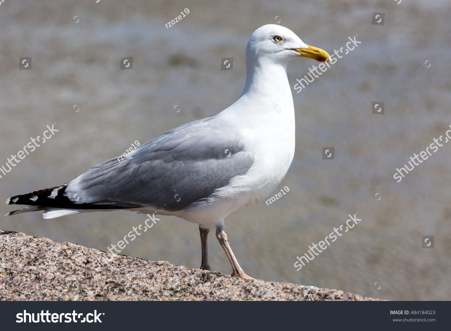 Protected Species Seagulls On Island Jersey Stock Photo