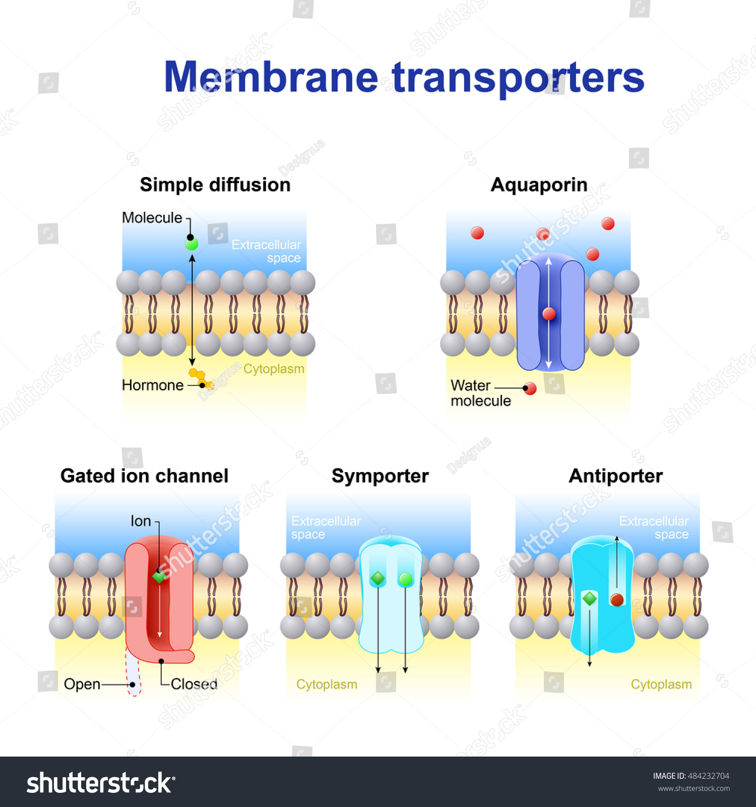 transport across a membrane Transport across cell membranes essential and continuous parts of the life of a cell are the taking in of nutrients and the expelling of wastes all of these must pass through the cell membrane.