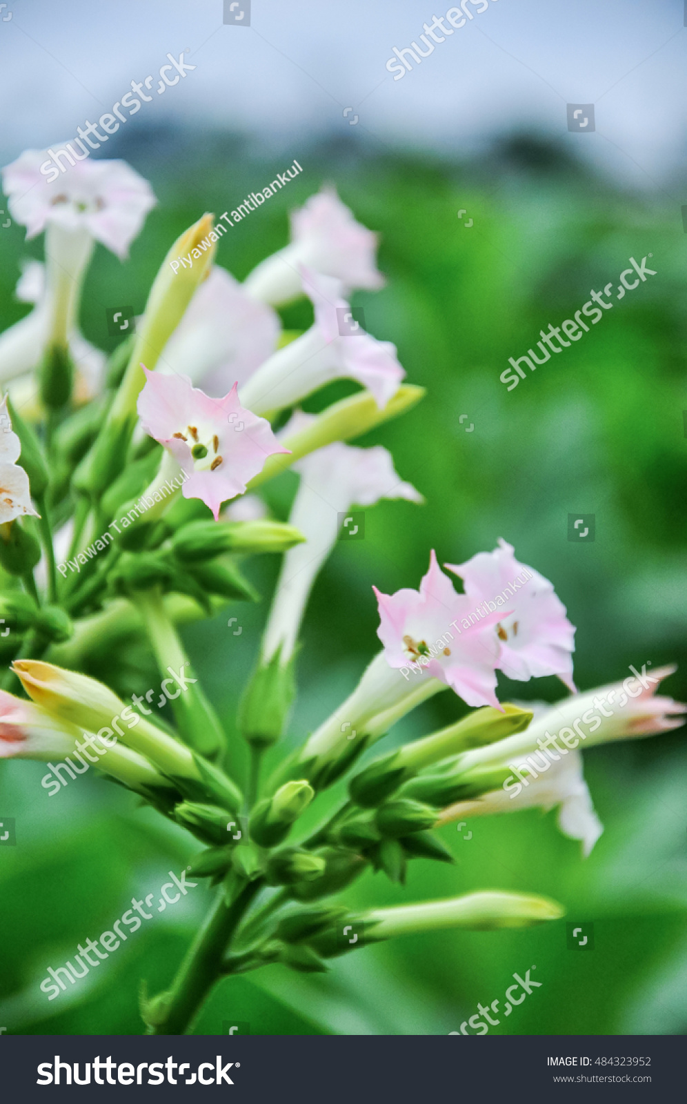 Pinkish Tobacco Plant Flowers Scientific Name Stock Photo (Edit Now