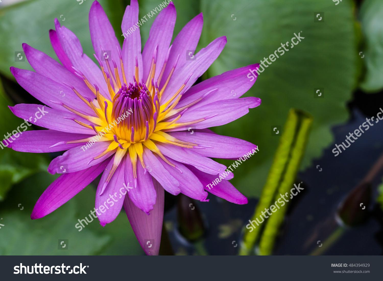Closeup Lotus Flower Blooming Pot Asian Stock Photo Edit Now