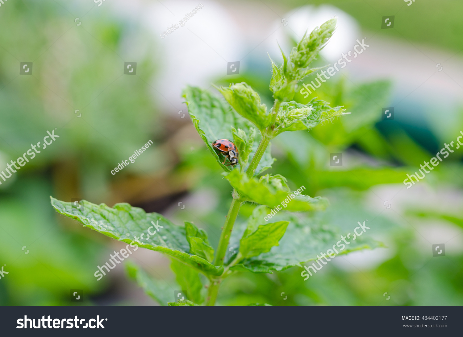how to get rid of aphids on mint