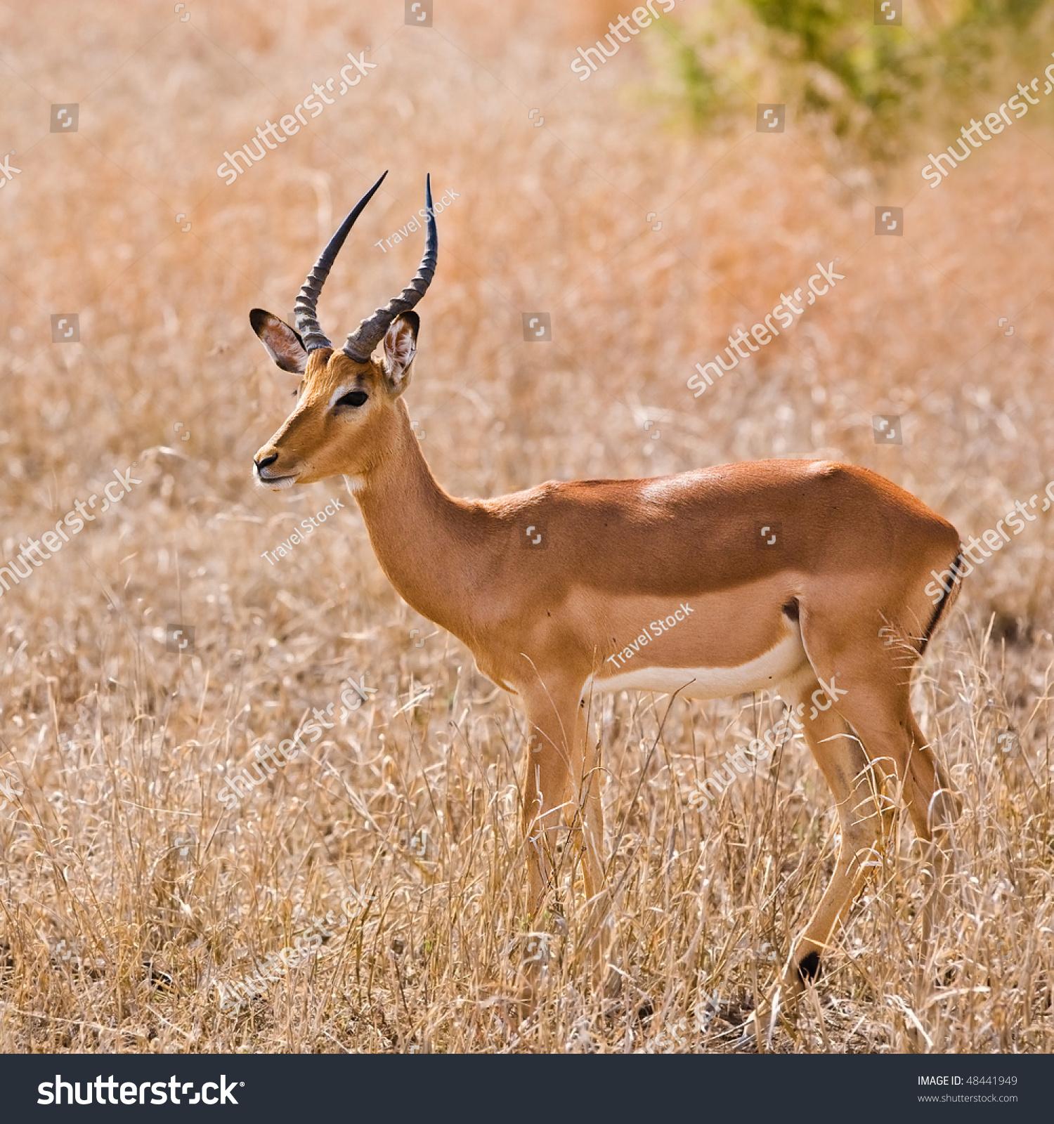 male impala antelope kruger national park south africa. Black Bedroom Furniture Sets. Home Design Ideas