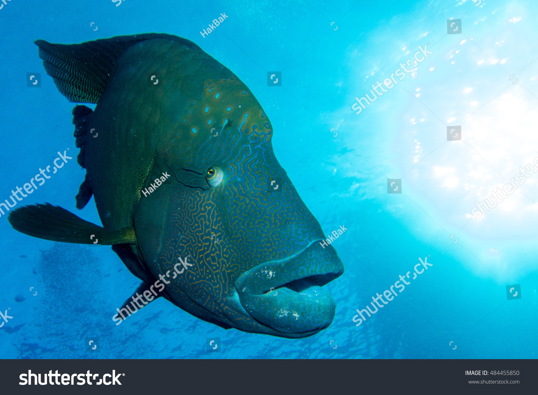 Big napoleon fish red sea stock photo 484455850 shutterstock for Big fish in the ocean