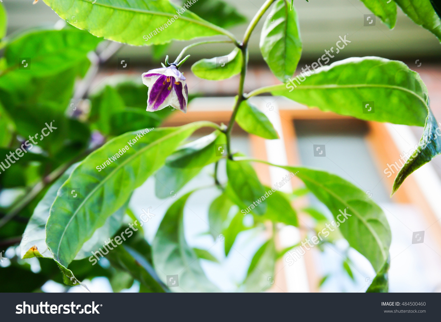 Royalty Free Purple And White Chilli Flower 484500460 Stock Photo